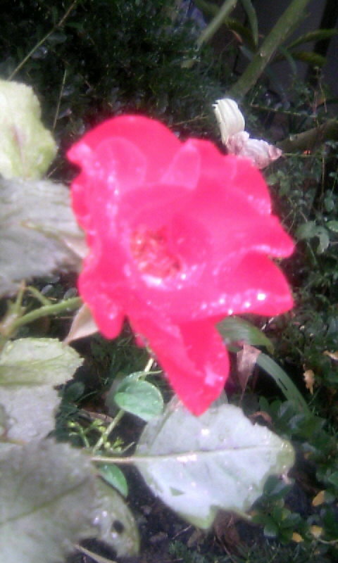 101030_082724薔薇