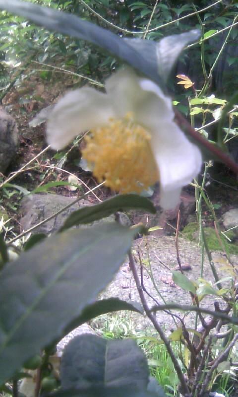 101031_081107お茶の花