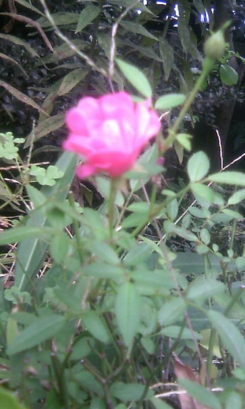 101031_081718ミニ薔薇
