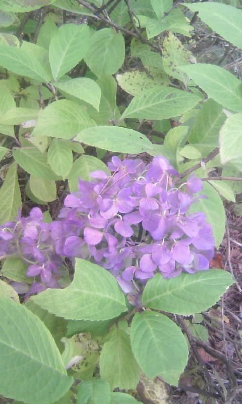 101103_104811山荘の紫陽花・11月3日