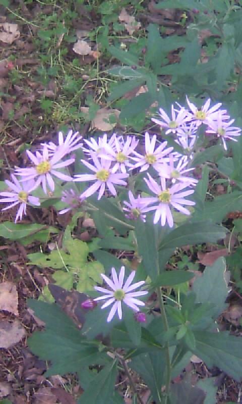 101103_105044山荘の小さな花