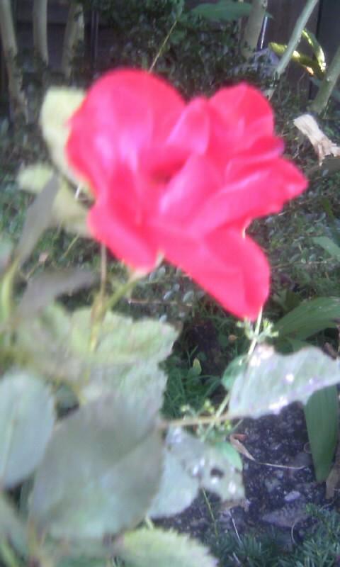 101105_082911紅い薔薇