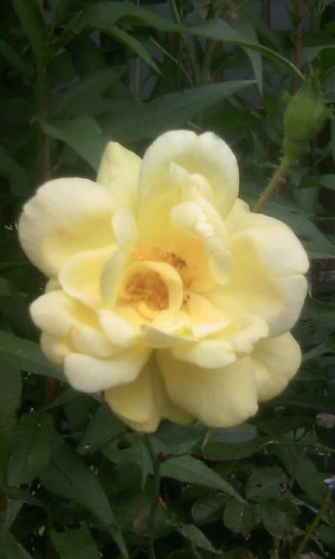 101107_083749黄色い薔薇
