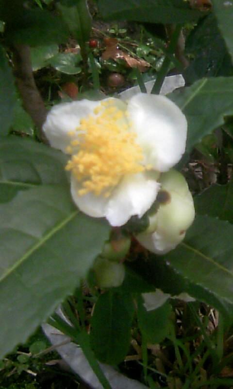 101107_083832お茶の花
