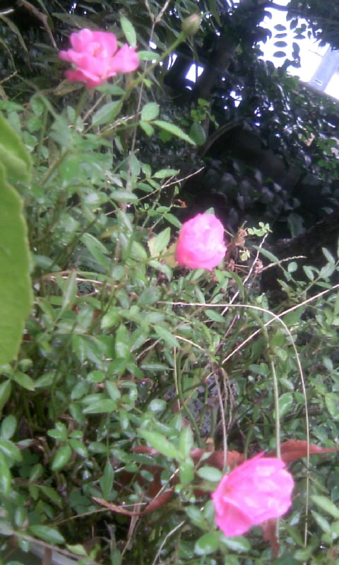 101107_084843ミニ薔薇