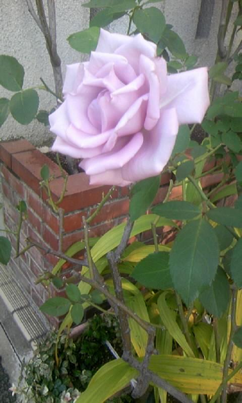 101110_082450ブルーの薔薇
