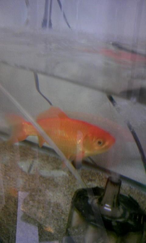 101110_091644一匹金魚