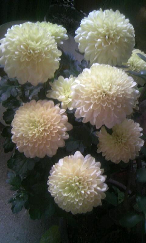 101111_073009菊・ぽんぽん咲き