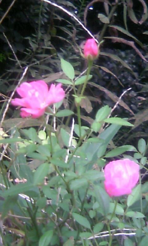 101112_074554ミニ薔薇