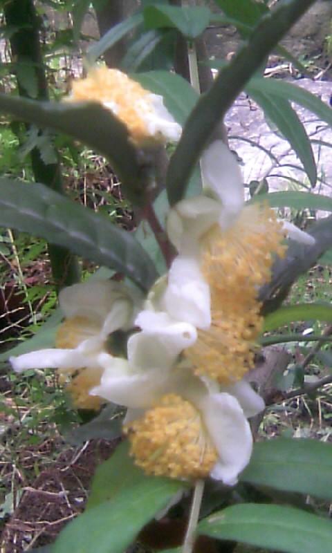 101114_080045お茶の花