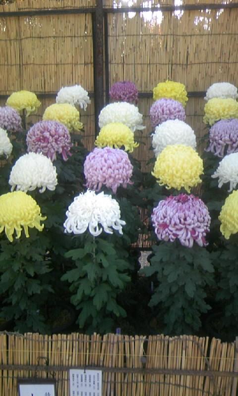 101117_121513名古屋城の菊