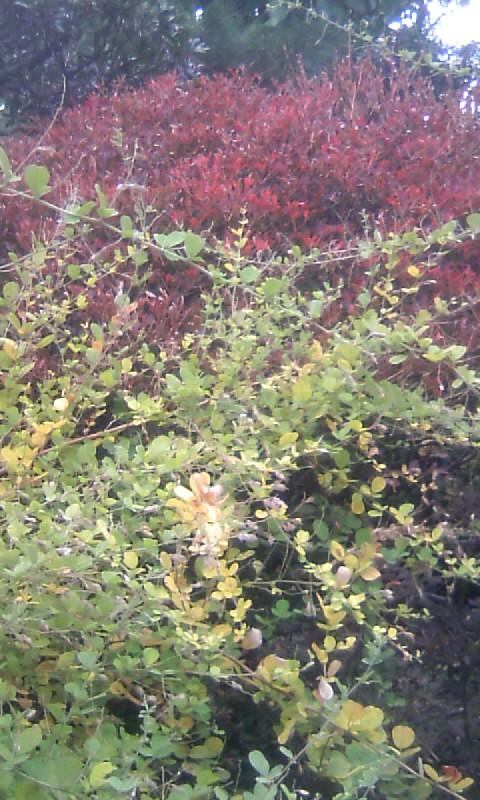 101117_073632ドウダンツツジの紅葉と萩の黄葉