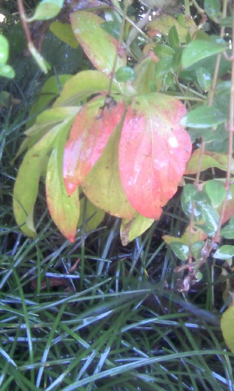101119_110252芍薬の紅葉