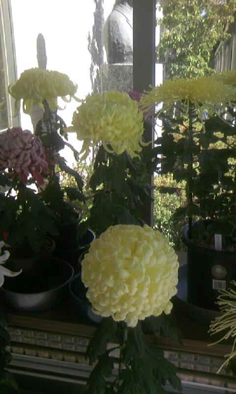 101119_114759病院の菊