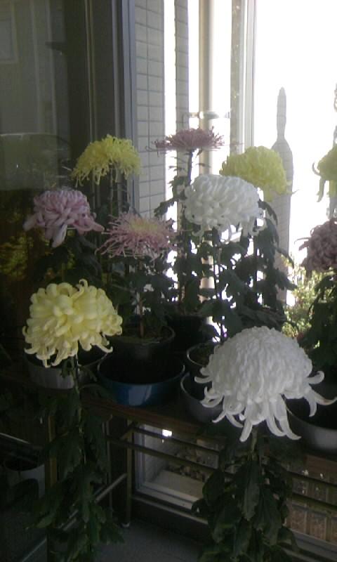 101119_114813病院の菊
