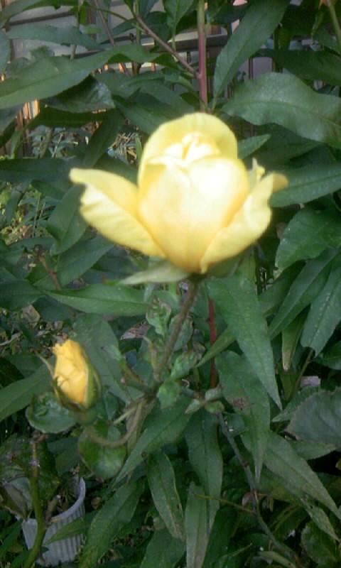 101120_081738薔薇・黄色