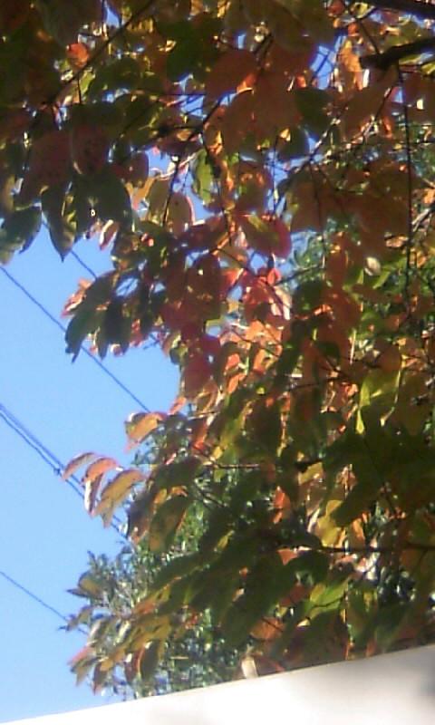 101121_084212柿の紅葉