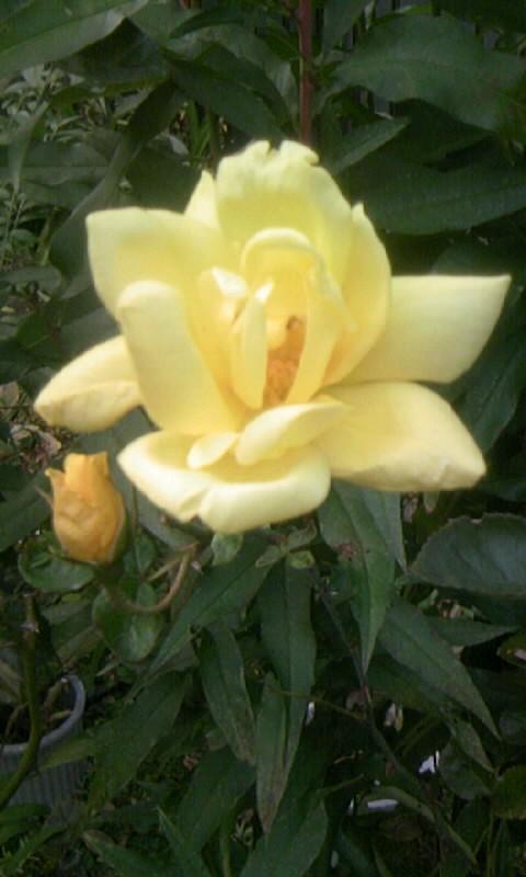 101121_160610黄色いばら