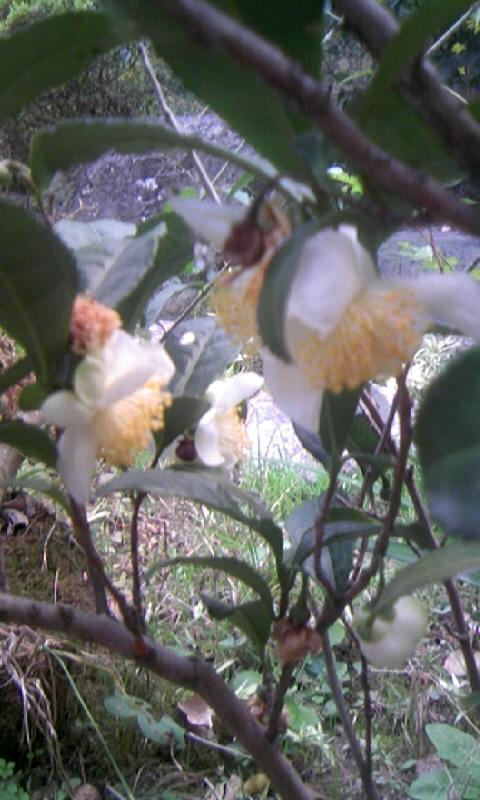 101121_160719お茶の花