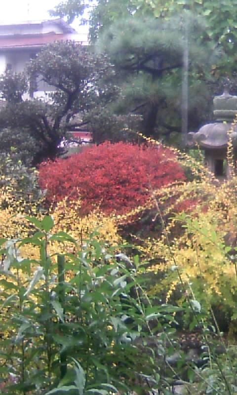 101122_115500萩の黄葉&ドウダンツツジの紅葉