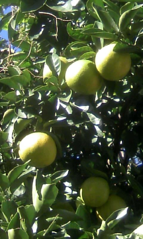 101123_135114柑橘