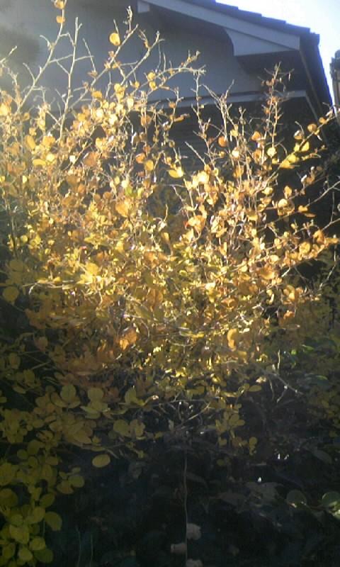 101123_135641萩の黄葉