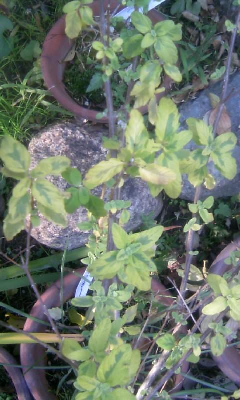 101123_135803段菊の黄葉