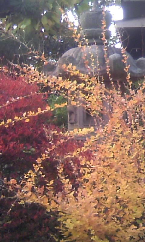 101126_071359ドウダンツツジの紅葉&萩の黄葉