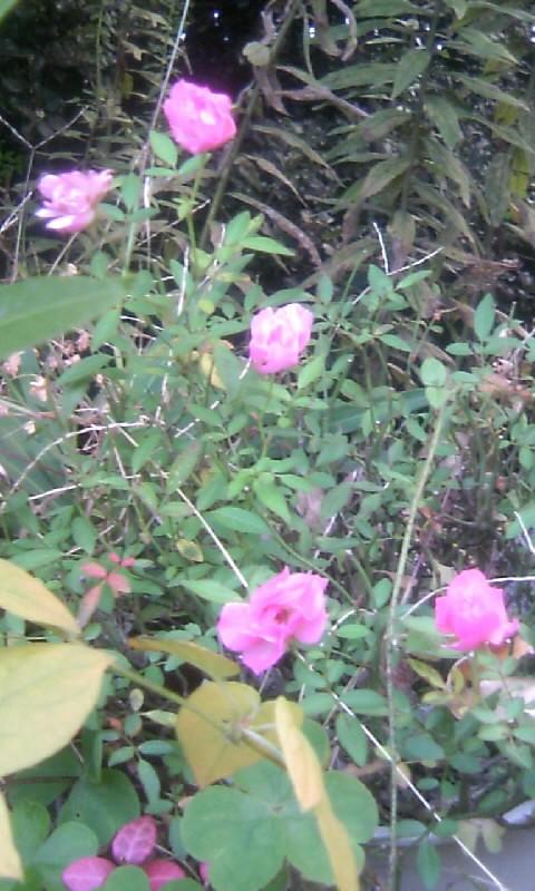 101126_071633ミニ薔薇