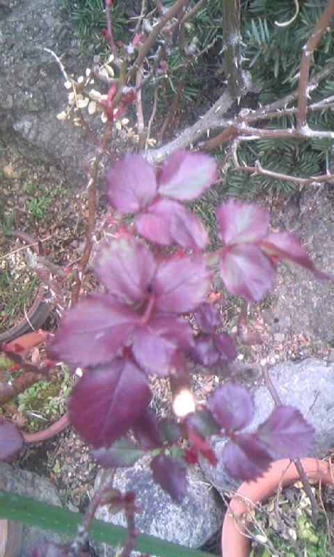 110227_152402紅いバラの葉