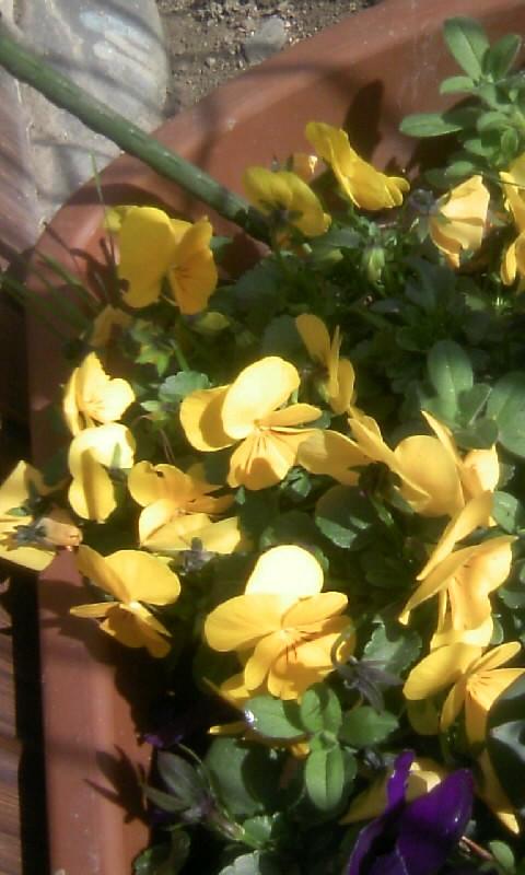 110302_091347黄色いビオラ