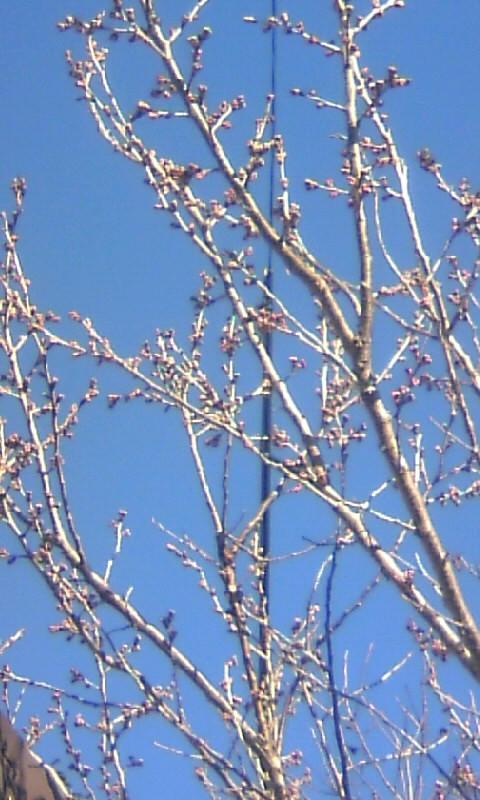 110304_084741早咲き桜