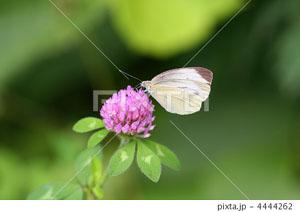 アカツメクサにとまる蝶
