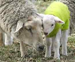 sheep_20121025192130.jpg