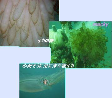 イカの卵と親