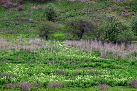 車山湿原のコバイケイソウ