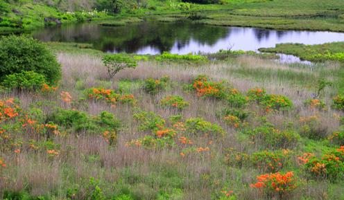ツツジ咲く八島湿原