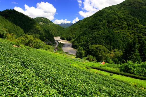 遠山郷木澤の茶畑