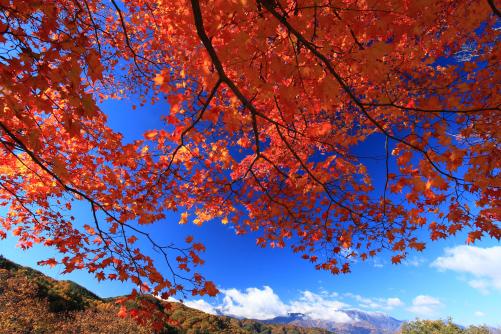 青空に映えるモミジと新雪の西駒ヶ岳