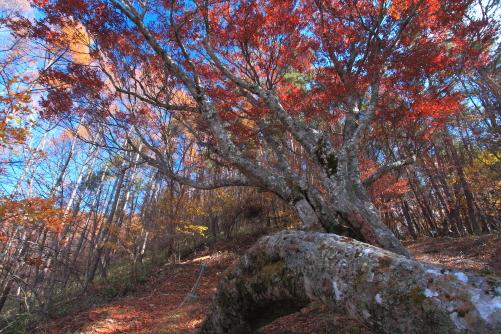 樹齢600年のブナ