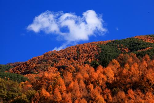 カラマツ黄葉の山と雲