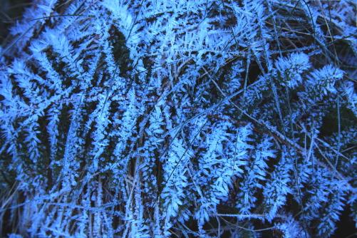シダに付着した霧氷の花