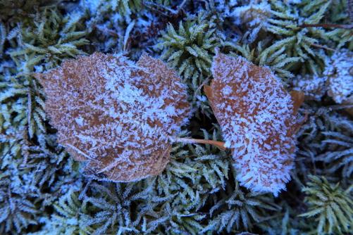 霜の降りた落ち葉