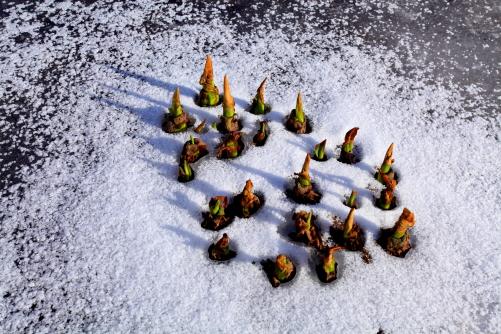 氷の中からミズバショウの新芽が顔を出す