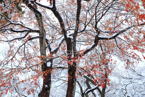 城址公園のモミジに着雪