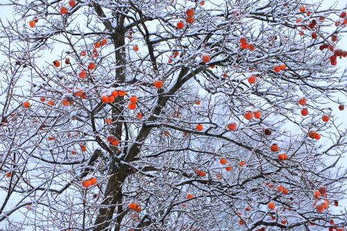 柿の木の雪景色