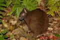 アマミノクロウサギ 2012 1
