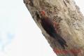 ノグチゲラ 20130609⑤ 1