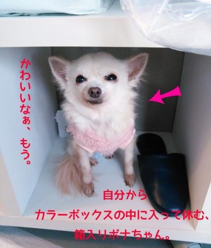 箱入りボナちゃん
