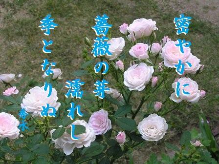 薔薇の芽①